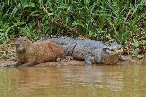 r/AnimalsBeingBros - Just a capybara and a crocodile chillin'